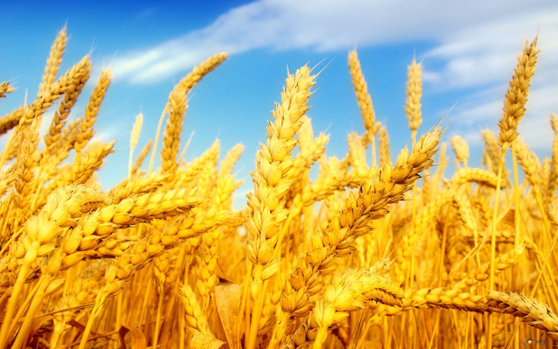 论坛广场 69 ppt素材区 69 图片素材 69 金色的麦子【15张】