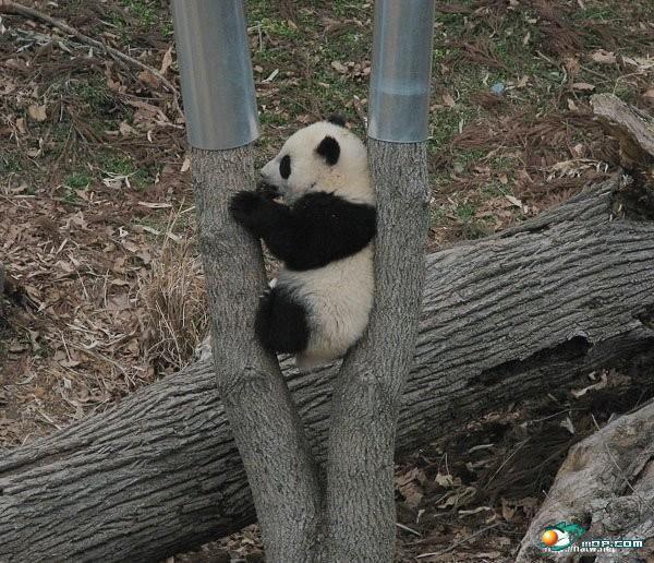 可爱的熊猫 - 哈哈吧 - 锐普ppt论坛 - powered by
